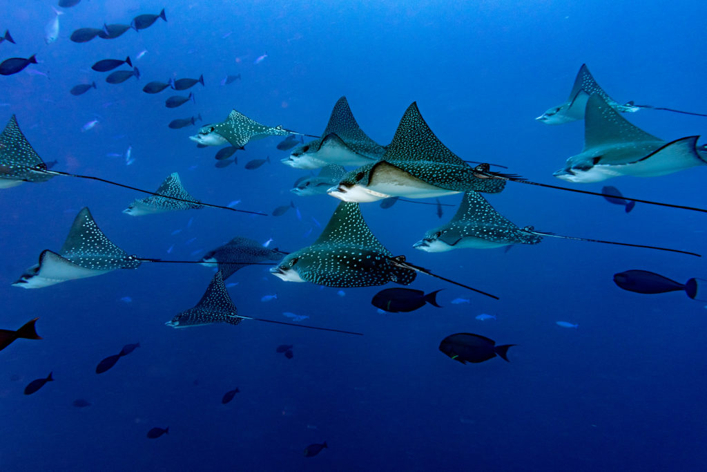 Many eagle rays in the maldives.